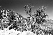 souvenirs-americains-bristlecone-pine